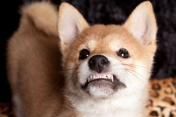 akita dog vs shiba inu