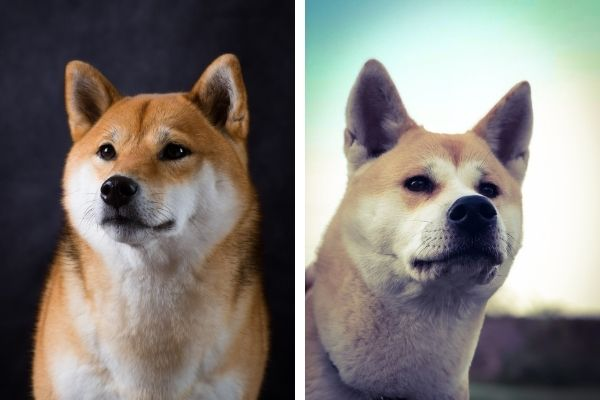 shiba vs akita
