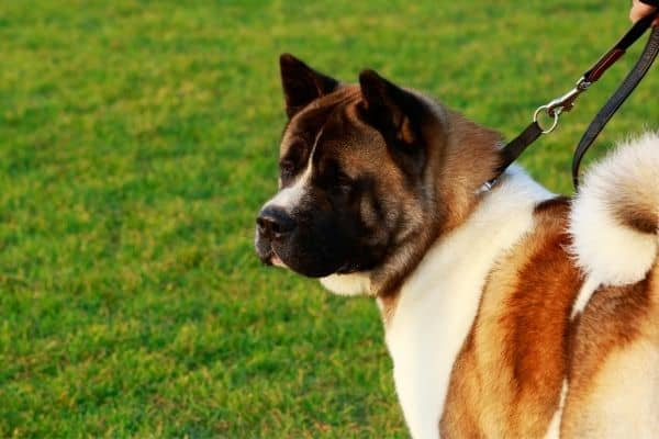 american akita on a leash