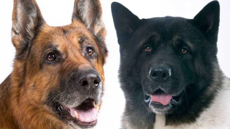Akita vs German Shepherd – Things You Need to Know Before Getting a Pup