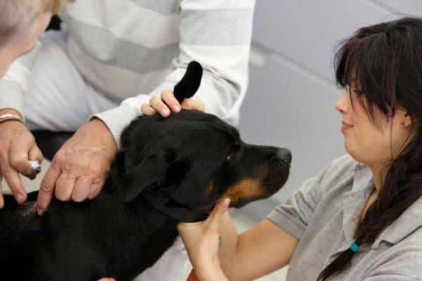 examining a rottweiler's health