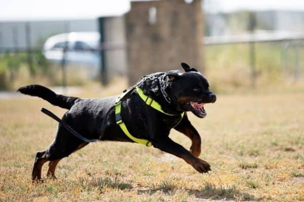 training a rottweiler