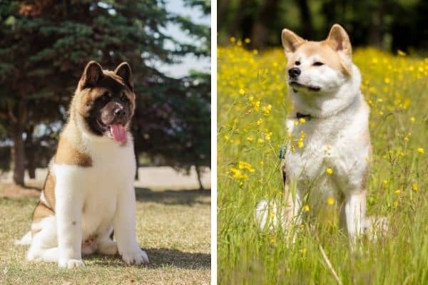 american and japanese akita similarities and differences