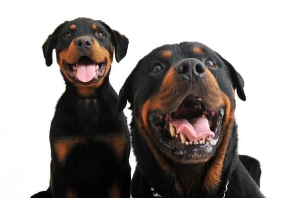 two rottweilers smiling