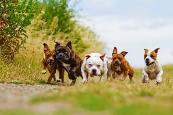 American Staffordshire Bull Terrier (2)