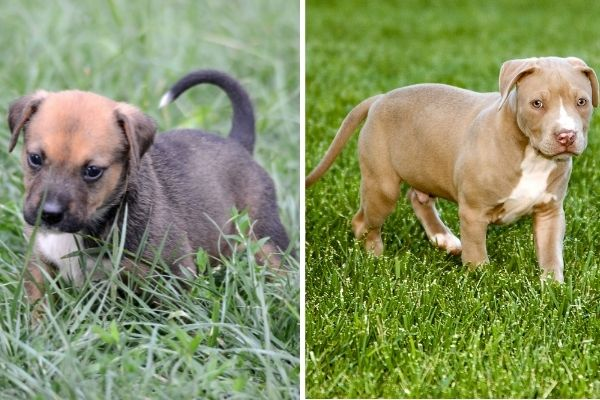 American Staffordshire Terrier puppy and Pitbull puppy