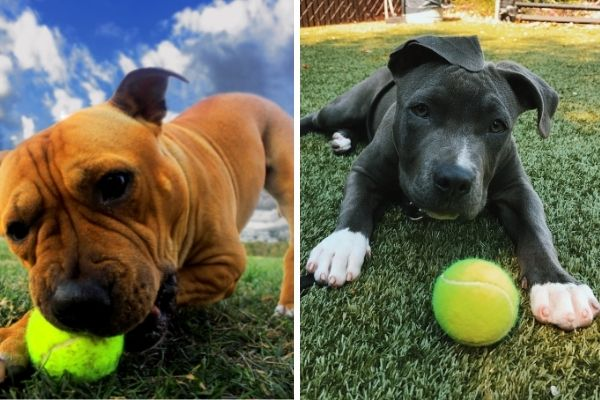 American Staffordshire Terrier vs Pitbull