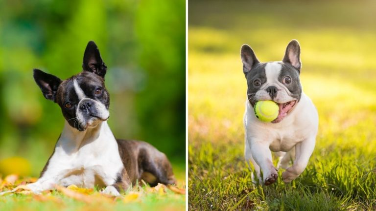 Boston Terrier vs French Bulldog — Which Breed Should You Pick (and Why)