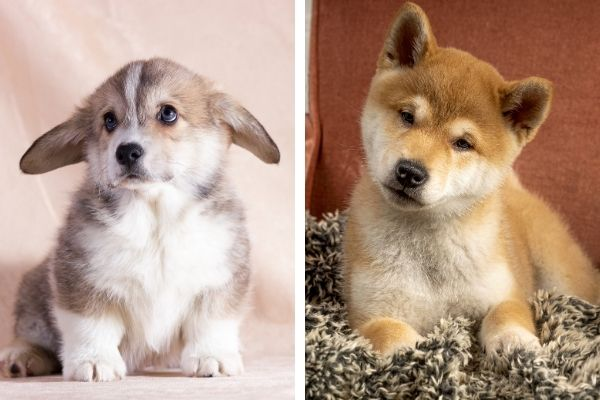 Corgi puppy vs Shiba Inu puppy