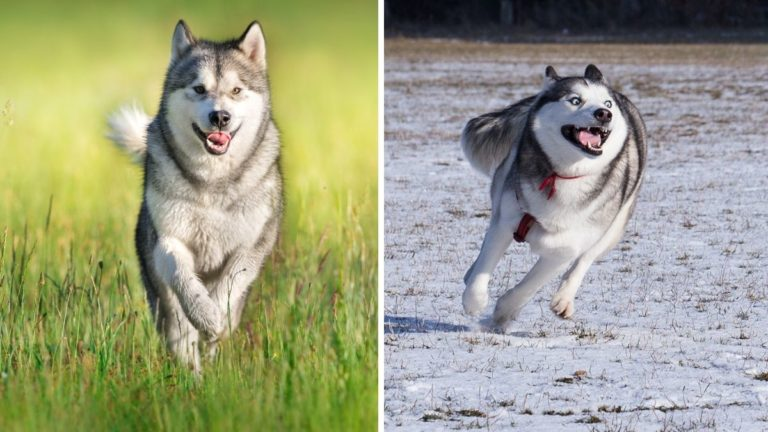 Alaskan Malamute vs Siberian Husky — Would You Pick a Gentle Giant or an Expressive Ball of Fluff?
