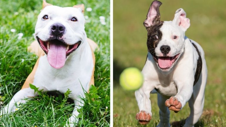American Staffordshire Terrier vs Pitbull Terrier — Which One's Better? (Don't Judge A Dog By Its 'Muscles'!)
