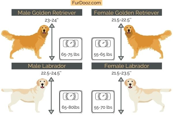 Golden Retriever vs Labrador Retriever - Weight and Height
