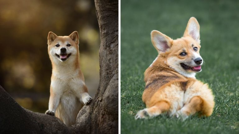 Shiba vs Corgi – Similarities and Differences (Which Doggo is Right for You?)