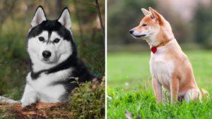 siberian husky vs shiba inu