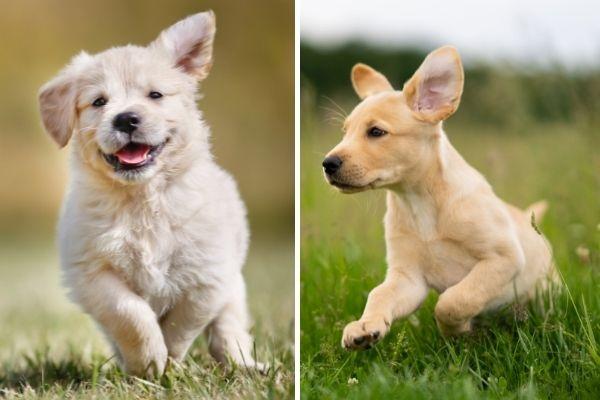 Golden Retriever and Labrador Retriever puppy ears up