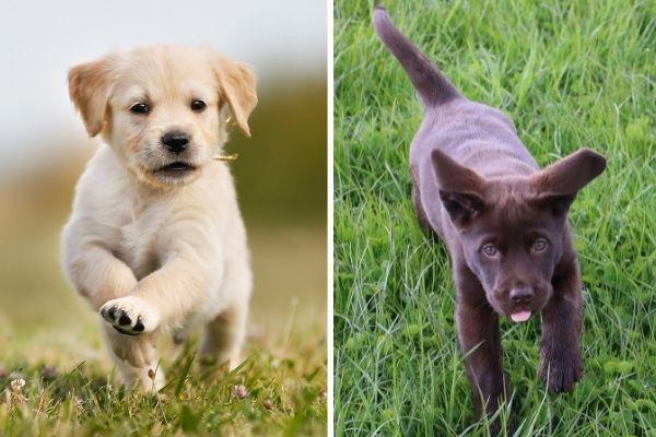 Golden Retriever puppy and Labrador Retriever puppy
