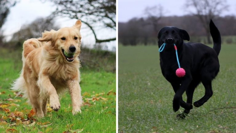 Golden Retriever vs Labrador Retriever — Know the Difference Between a Lab and a Goldie!