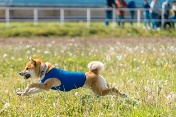 Shiba Inu running in an open field