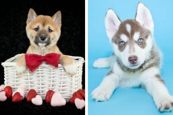 Shiba Inu vs Husky puppies
