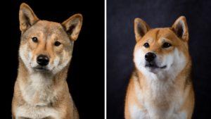 Shikoku Dog vs Shiba Inu