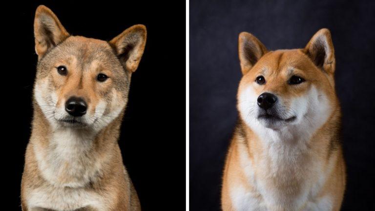 Shikoku Dog vs Shiba Inu: The Ultimate Comparison Guide to Japanese Breeds