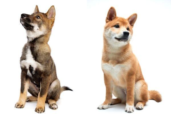 Shikoku puppy vs Shiba Inu puppy