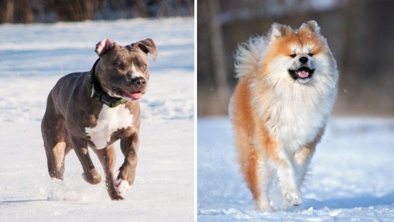 The Ultimate Pitbull vs Akita Comparison Guide [Scruffy Doggo or Fluffy Fido?]