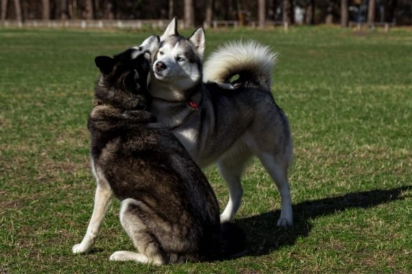 Two Huskies playing