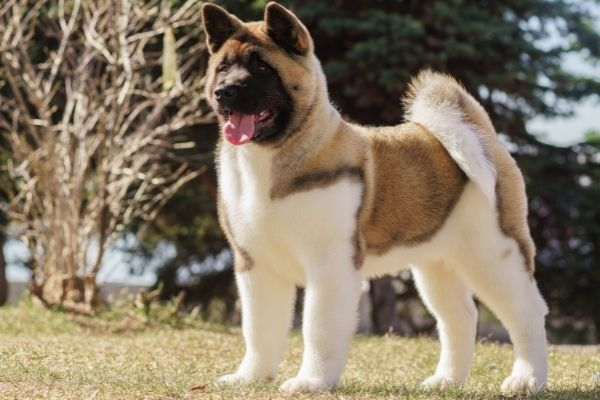 akita with black brown and white coat