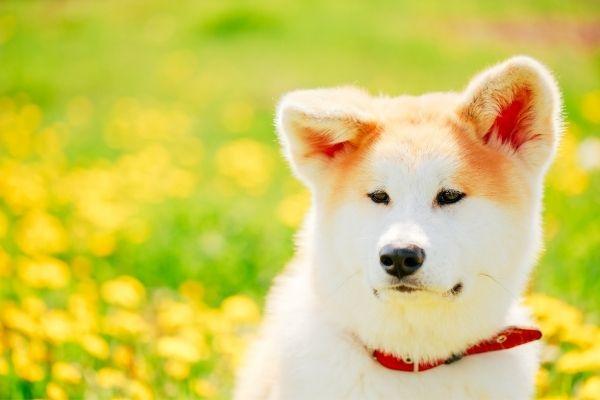 cute akita ears
