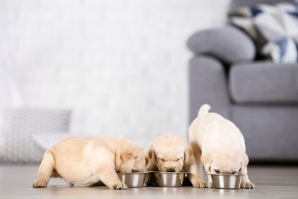 cute lab puppies eating