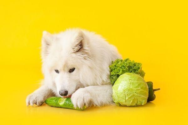 dog eats cucumber