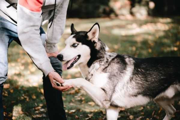 man checking paw and nails of a siberian husky