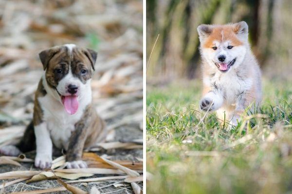 pitbull puppy and akita puppy