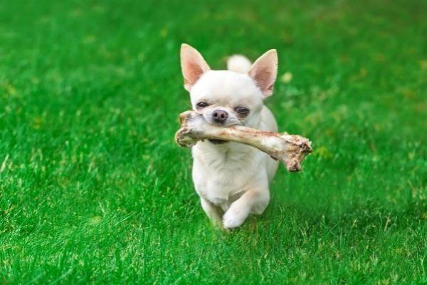 small dog holding huge bone