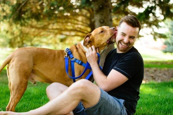 sweet affectionate pitbull