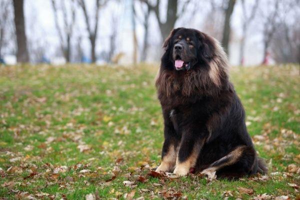 Adult Tibetan Mastiff outdoors