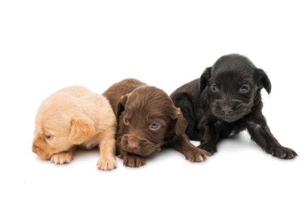 American Water Spaniel puppy vs Boykin Spaniel puppy