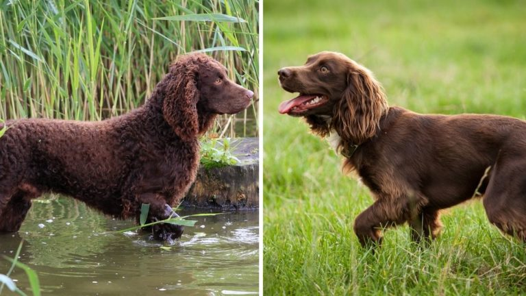 American Water Spaniel vs Boykin Spaniel: Comparison Guide to These Curly Pooches