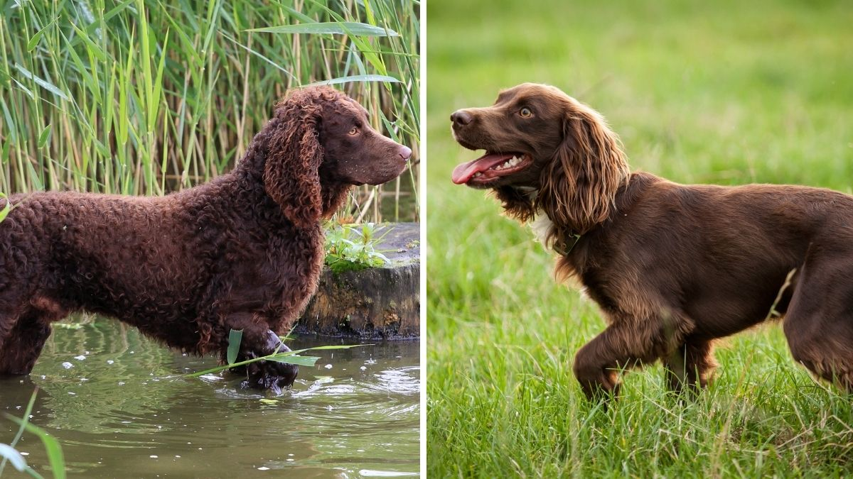 American Water Spaniel vs Boykin Spaniel Comparison Guide to These Curly Pooches