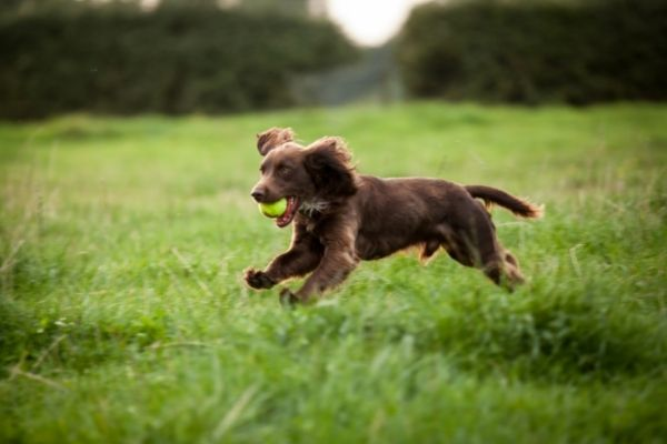 Brown male spaniel dog playing with ball