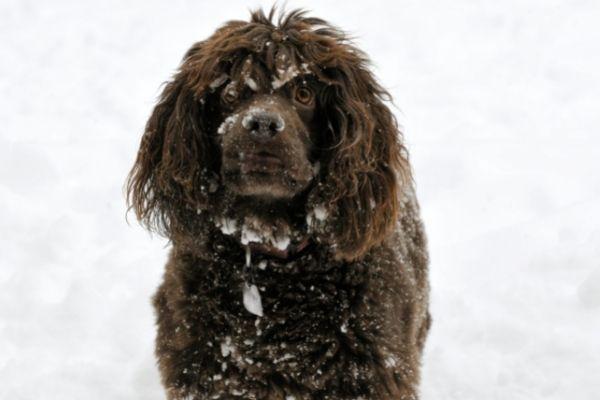 Chocolate brown boykin spaniel on the snow