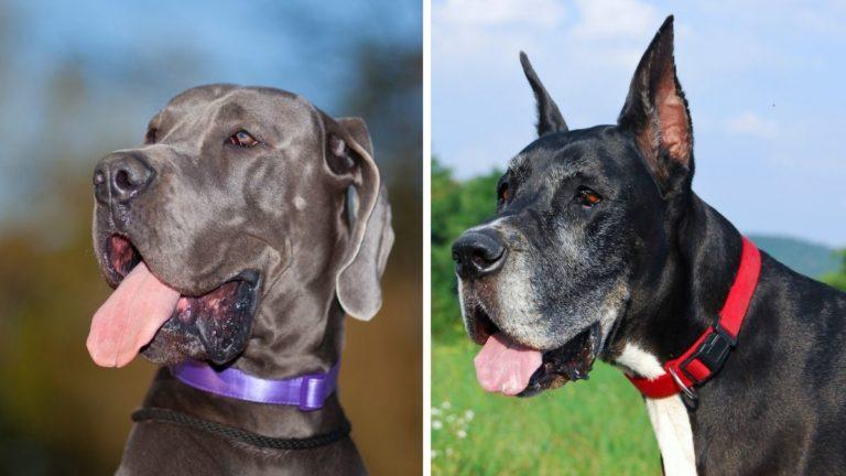 European Great Dane vs American Great Dane: Comparison Guide to These BIG Breeds