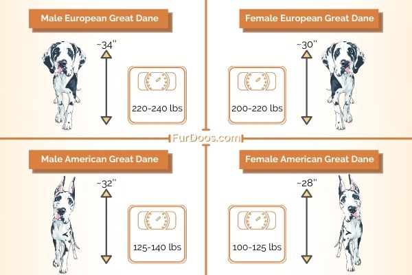European Great Dane vs American Great Dane Weight and Height of Males and Females