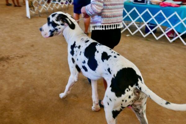 Great dane with dalmatian coat