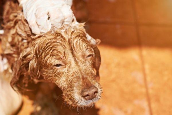Grooming spaniel dog breed