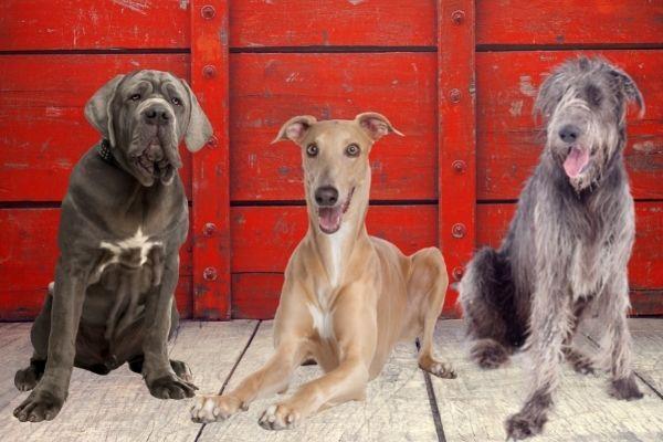 Mastiff, Greyhound, Irish hound