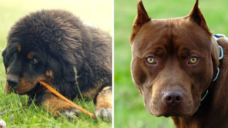 Tibetan Mastiff vs Pitbull: Which is a Better Pet for You?