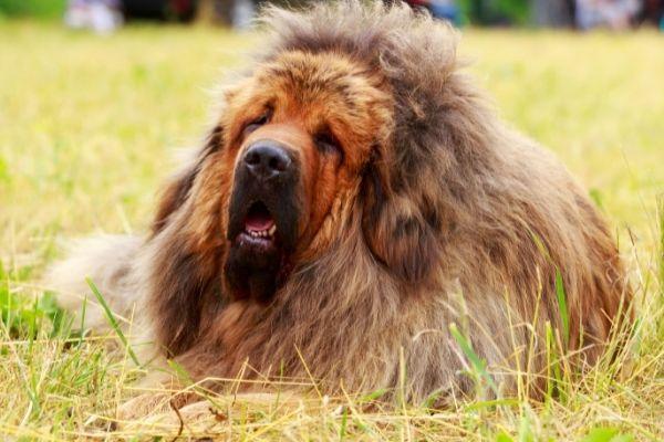 Tibetan mastiff showing teeth