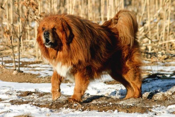 big long haired coat dog breed